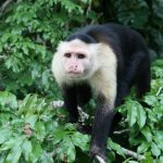 capuchin-monkey-panama-1341346-639x426