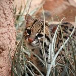 ocelot-peeks-through-grass-1337495-639x424