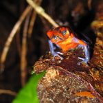 strawberry-poison-dart-frog-oophaga-pumilio-1245172-639x640