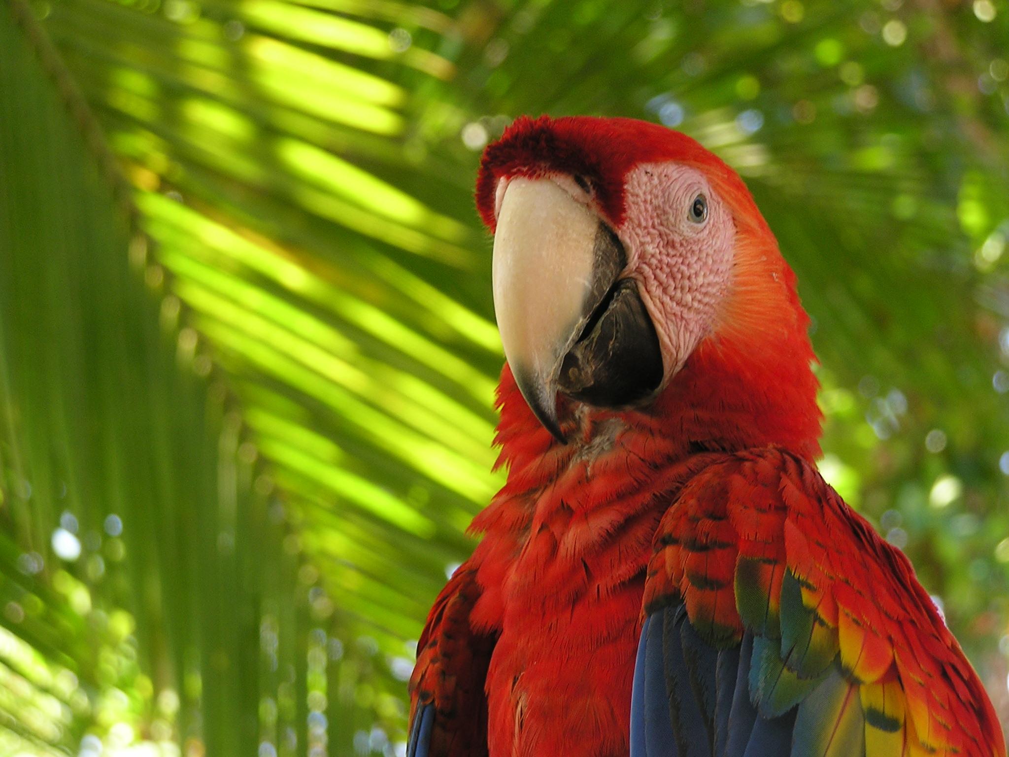 scarlet-macaw-1365128